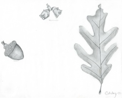 And here's the result of that Botanical Illustration assignment.