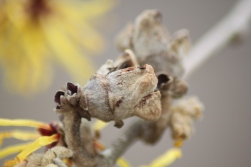 Hamamelis mollis 'Princeton Gold' Seed Capsule