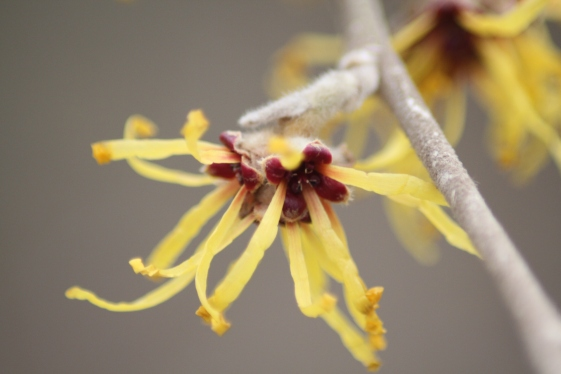 Hamamelis mollis 'Princeton Gold' Flower