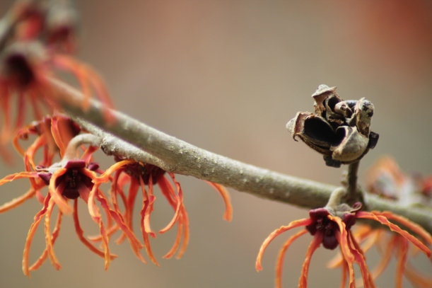 Hamamelis x intermedia 'Rubin' Seed Capsule and Flowers
