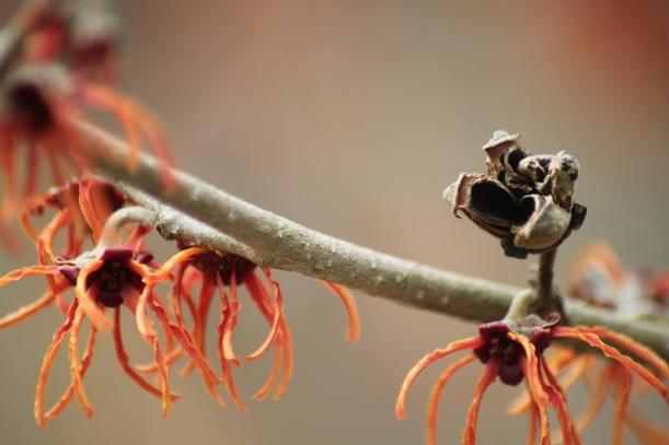 Hamamelis x intermedia 'Rubin' Seed Capsule and Flowers