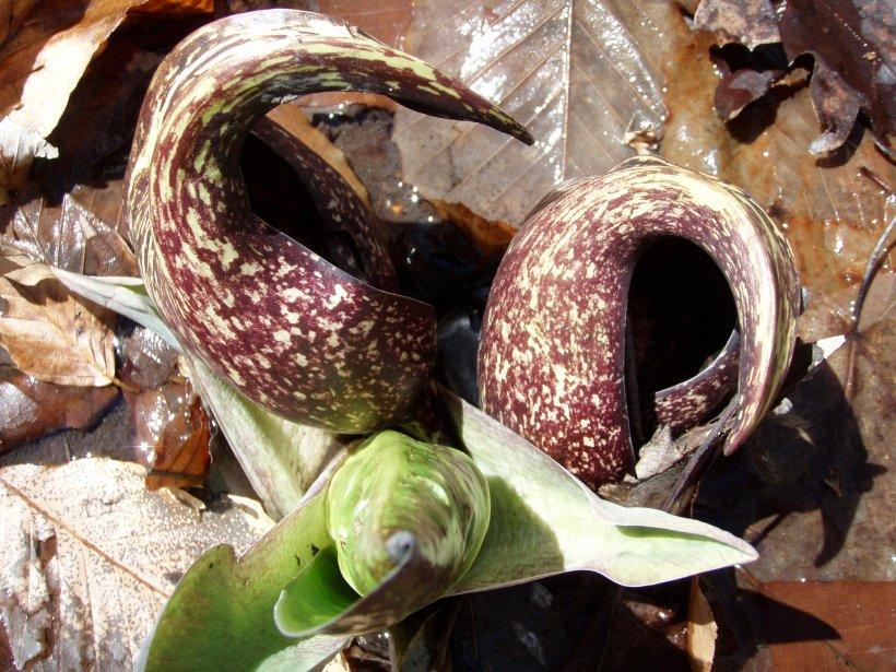 Winter Blooms of Skunk Cabbage