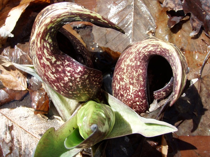 Winter Blooms of Skunk Cabbage