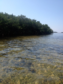 Mangrove wall protects inlands from winds and waves, feeds and protects animals too.