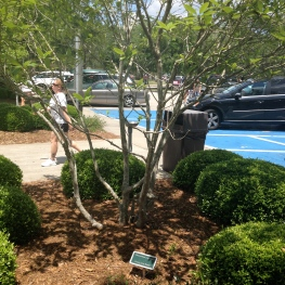 Fringe Tree (Chionanthus virginicus) at a GA Rest Stop