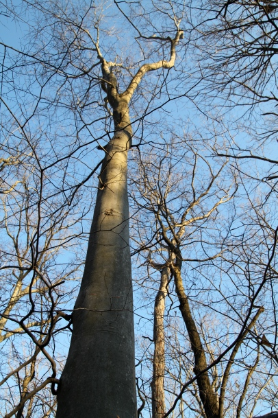 Looking up a Beech Tree
