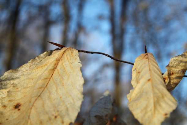 Buds of the young beech tree protected by leaves hanging on through the winter.