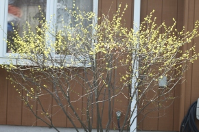 Spicebush in full bloom in a home landscape setting.