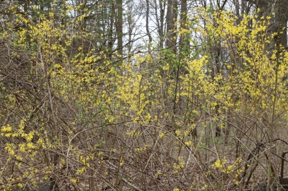 Forsythia, planted near a home, escaped into the woods.