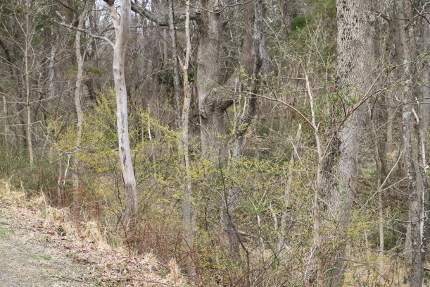 Spicebush brightens up an early spring forest.