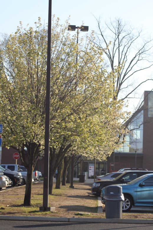 Bradford Pears blooming in a rest stop median. Plantings such as this lead to the spreading of Bradford Pears into woodlands and fields.