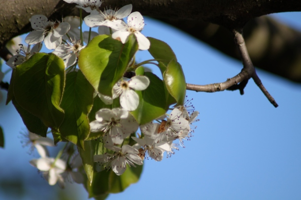 Flowers and emerging leaves of Bradford Pear