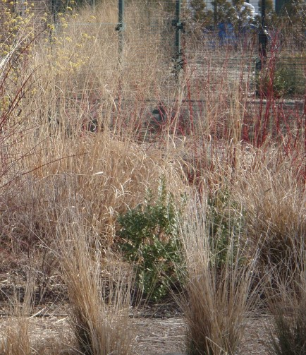 Switchgrass escapes into a formal planting.