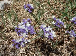 Winged Sea Lavender (Limoniun sinuatum)