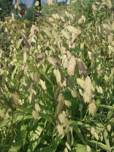 Seed heads of Northern Sea Oats
