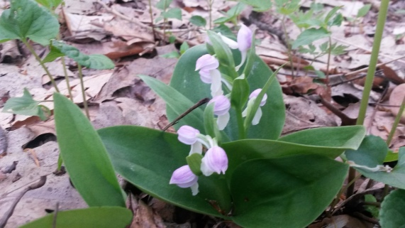 Showy Orchis, just one of the orchid pics I received so far this year from friends on their own adventures. Photo by Erin Range