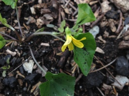 Smooth Yellow Violet (Viola pennsylvanica)