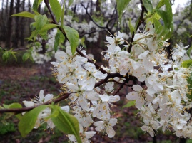 Flowers of American Plum