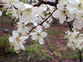 American Plum blooms