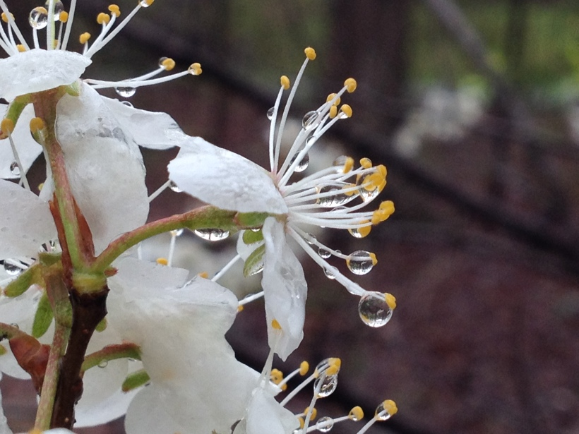 American Plum after last night's heavy rains. The sweet fragrance is still evident on the wet blooms.