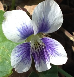 Striped Cream Violet (Viola striata)