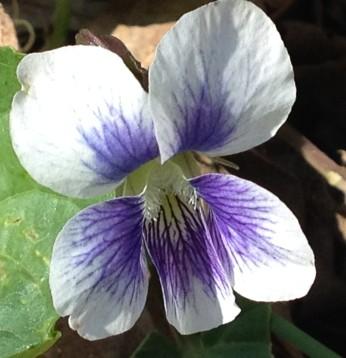 Striped Cream Violet (Viola striata)