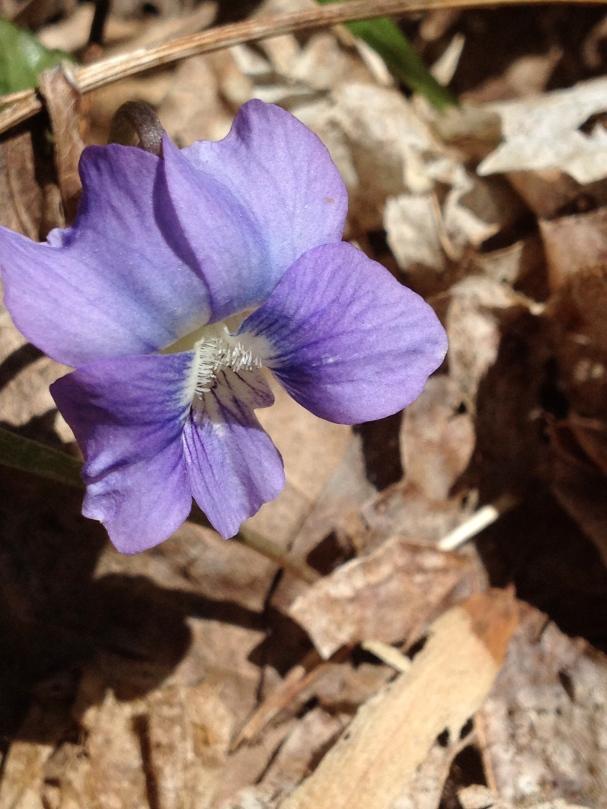 Pale Blue Violet