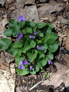Typical clump of Common Violet