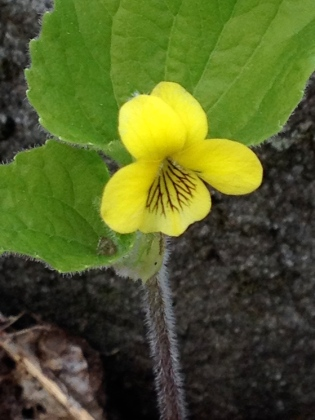 Here you can see how Downy Violet (Viola pubescens) earned its name.