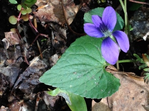 Leaf shape varies among Viola species and can help with identification.
