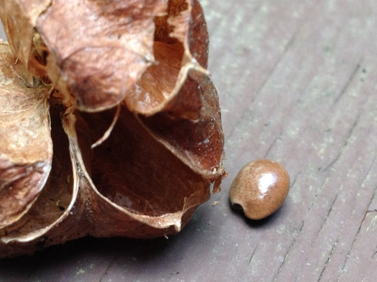 Bladdernut Fruit and Seed