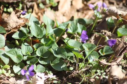 Here a clump of common violet is working towards becoming that elusive native ground cover.