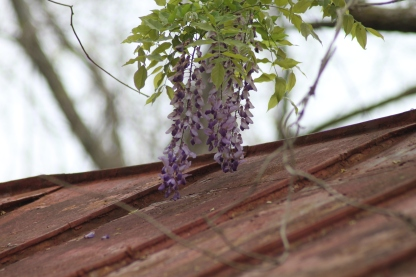 Flower Clusters of Wisteria quickly engulf this historic structure. But aren't they pretty?