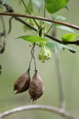 Bladdernut Fruit