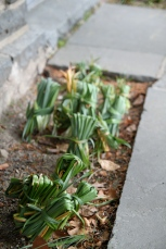 Meticulous Maintenance - the daffodil foliage is left, very neatly, to gather the sun's energy for next year's blooms.