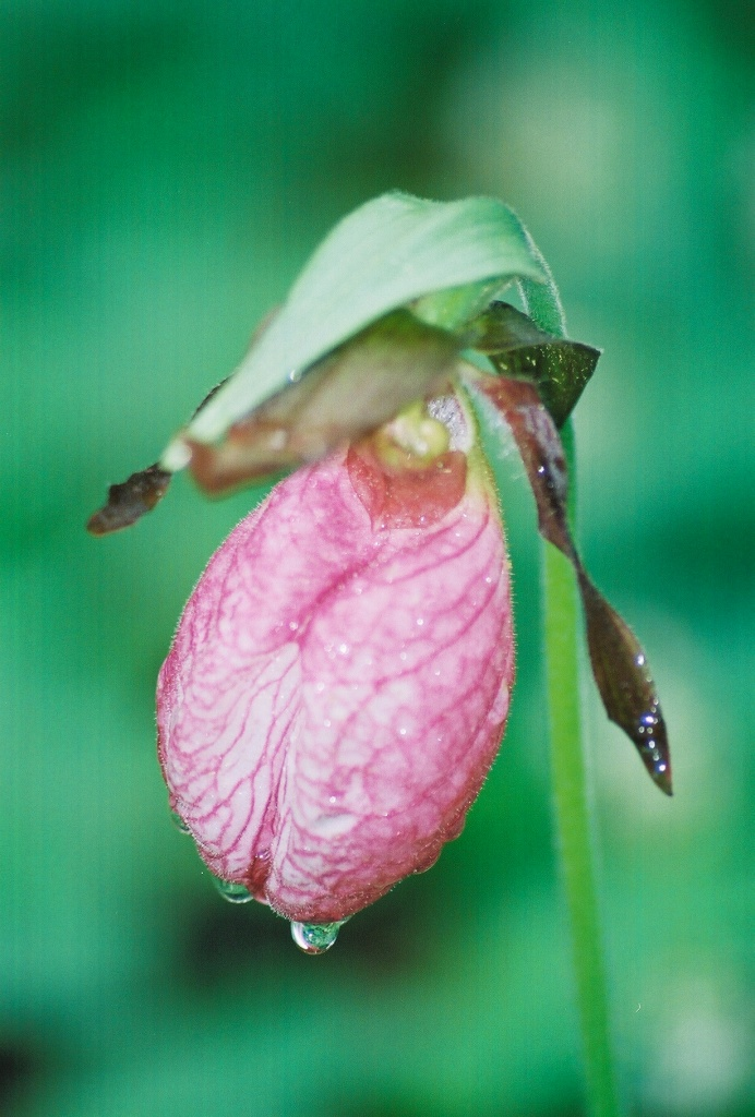 Lady Slipper in the morning  mist.