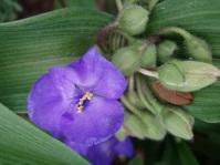 Spiderwort (Tradescantia virginiana)
