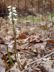 Lady's Tresses bloom well into the fall.