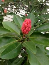 Fruit of Sweetbay Magnolia