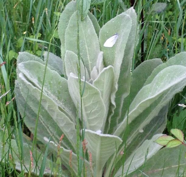 Common Mullein (Verbascum thapsus)