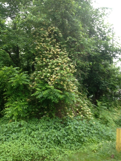 This Japanese honeysuckle will eventually strangle the tree it is covering.