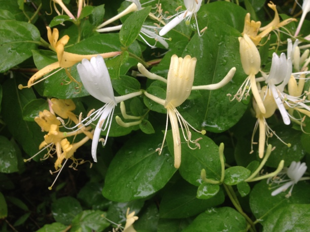 Japanese Honeysuckle Flowers