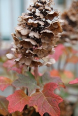 The raffia colored flowers of Oakleaf Hydrangea in Autumn
