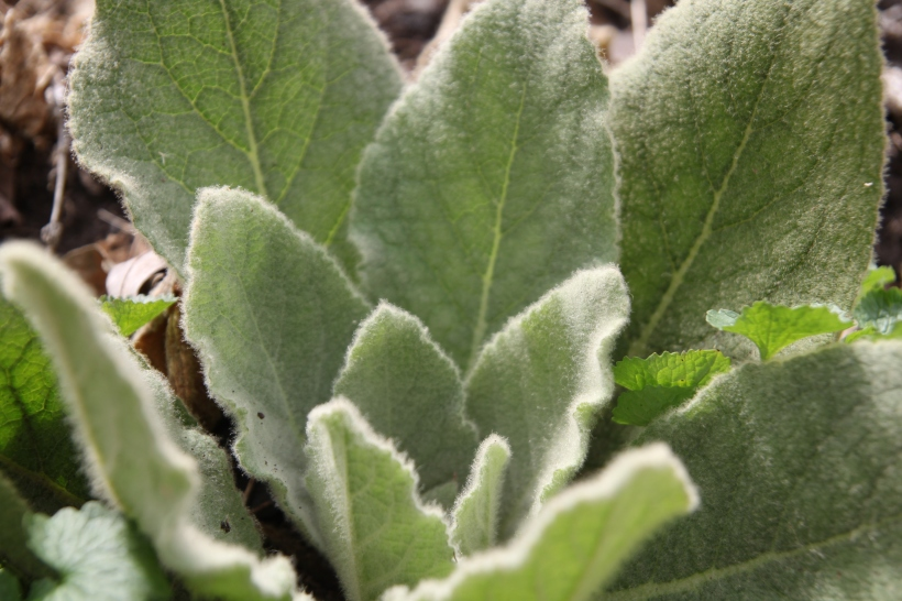 Hairs on the Common Mullein leaf