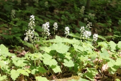 Tiarella flowering across the forest floor.