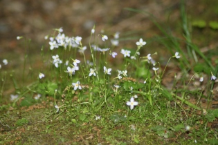 Quaker-ladies, or Bluets, brightened mossy hills