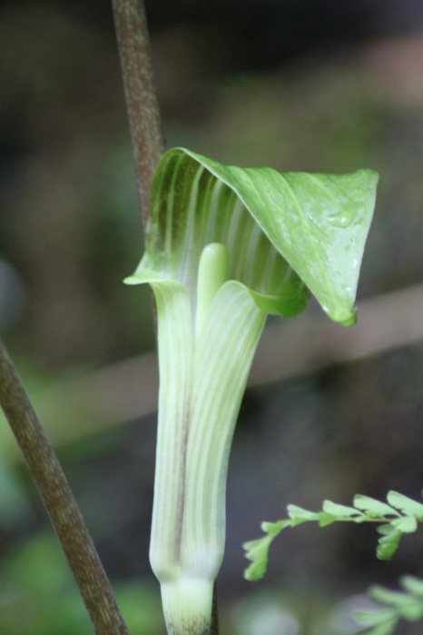 Light Green Jack in the Pulpit