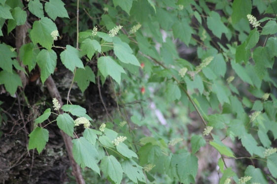 Mountain Maple (The red dots in the background are the native columbine.)