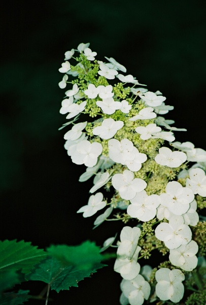 Oakleaf Hydrangea flowers in the wilds of Mississippi