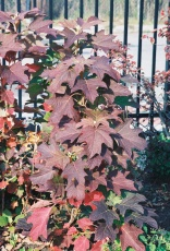 Oakleaf Hydrangea Fall Color